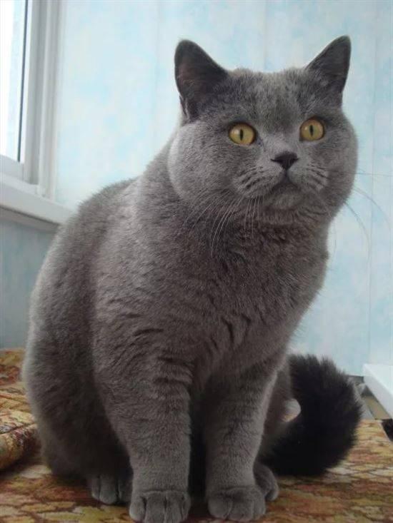 британский прямоухий кот в картинках для