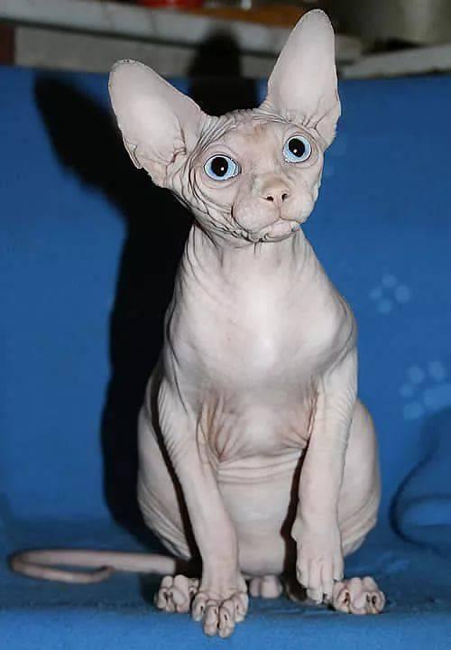 сфинкс египетский кошка фото вакси про насос