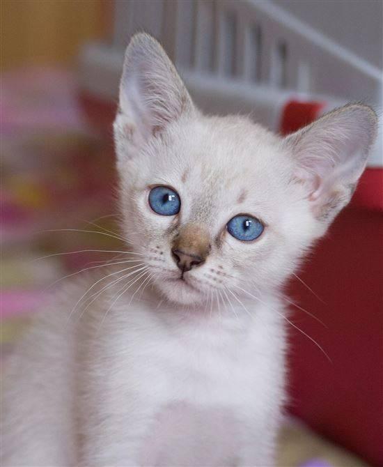 позиционируется производителем порода голубоглазых кошек фото тем как