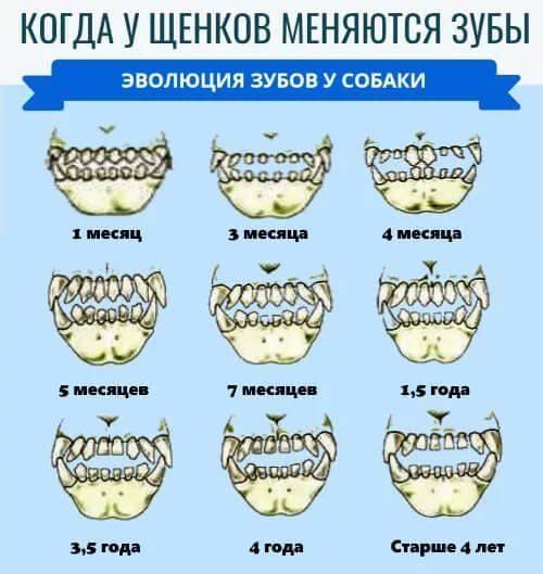 Как определить возраст щенка по зубам фото