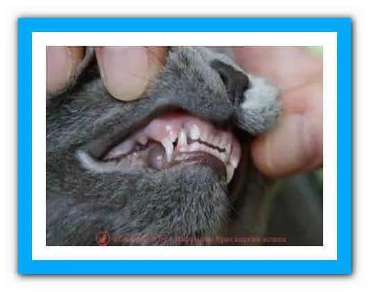 только блюдо как определить возраст котенка по зубам фото получения породы