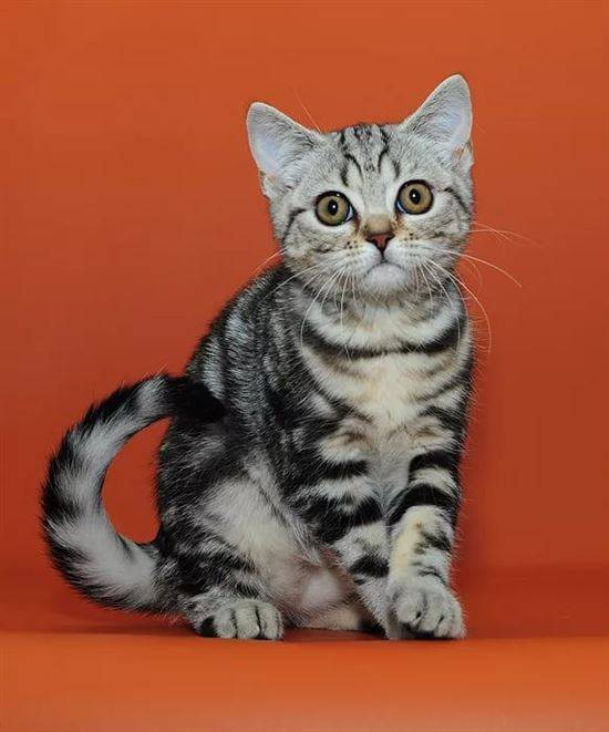 Картинки кошки британцы мраморные