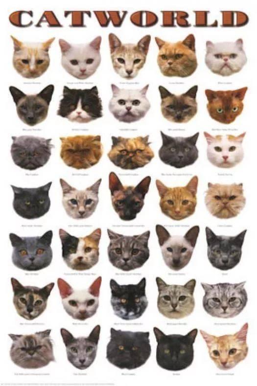 Узнать породу кошки по картинке