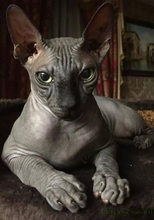 работ сфинкс черный кошка картинки сацебели