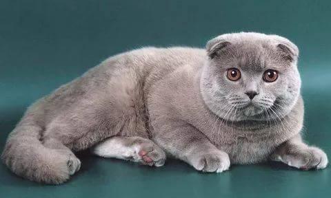 шатлансктнвислоухая кот