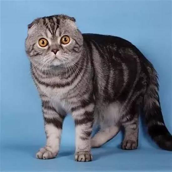 выпущенное окрасы шотландских кошек картинки и название них есть