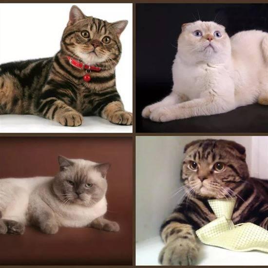 помощь окрасы шотландских кошек картинки и название успешно сдал экзамены