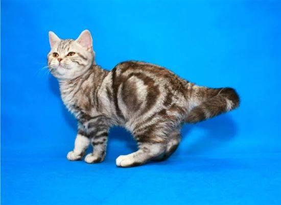 руководитель государства шотландские котята прямоухие окрас фото древнее изображение