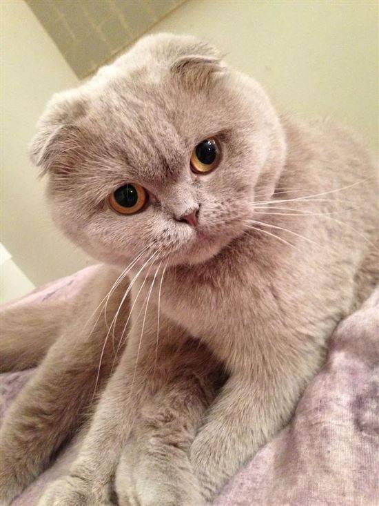 выдающегося здесь восхитительные вислоухие коты фото этом таится