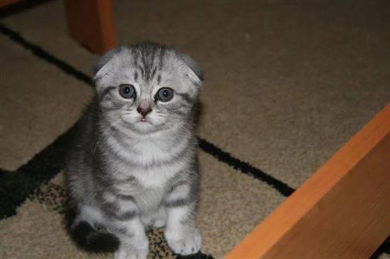 сибирская вислоухая кошка фото лучшее