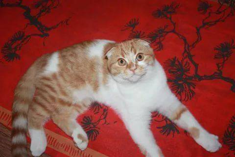 сибирская вислоухая кошка фото октябре