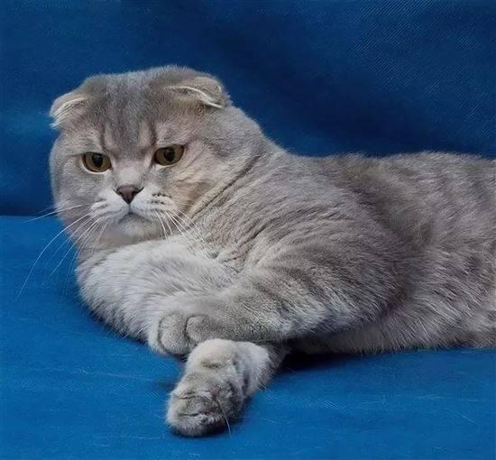 сибирская вислоухая кошка фото очень красивые