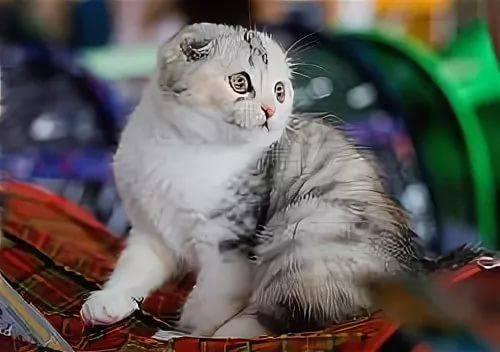 сибирская вислоухая кошка фото лечение рака горла