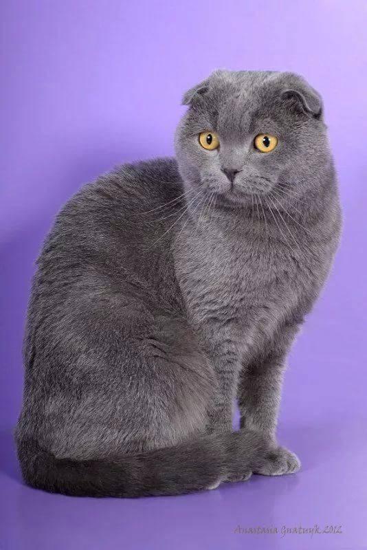 сибирская вислоухая кошка фото всего телевизор