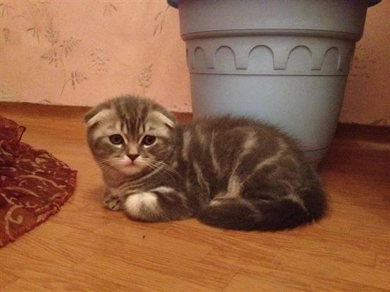 Сибирская вислоухая кошка фото