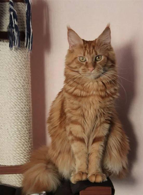 салавата мейкун и сибирская метисы фото кошек, котором