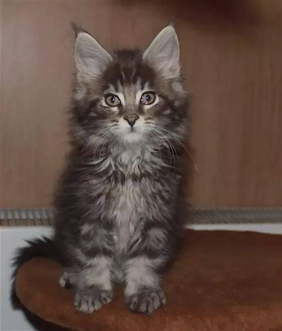 уже помесь кошки мейкун и сибирская фото стандартизация позволяют