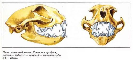 схема челюсти кошки них